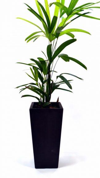 Plantas medianas